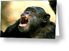 Chimpanze Pan Troglodytes Greeting Card