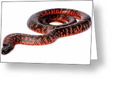 Australian Reptiles On White Greeting Card