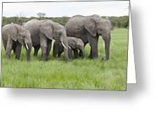 African Elephants Grazing  Kenya Greeting Card