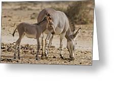 African Wild Ass Equus Africanus Greeting Card