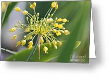 Allium Flavum Or Fireworks Allium Greeting Card