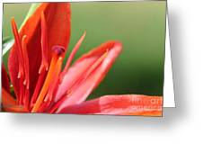 Asiatic Lily Named Red Twin Greeting Card