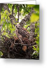 Baby Red Shouldered Hawk In Nest Greeting Card