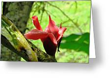 Barriles Ginger Greeting Card