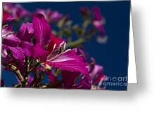 Bauhinia Purpurea - Hawaiian Orchid Tree Greeting Card