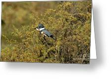 Belted Kingfisher With Fish Greeting Card