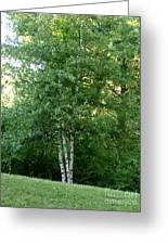 3 Birch Trees On A Hill Greeting Card