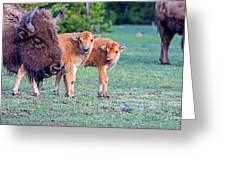 Bison Babies Greeting Card