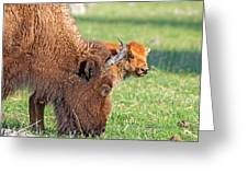 Bison Baby Greeting Card