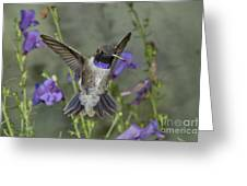 Black-chinned Hummingbird Greeting Card