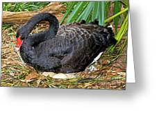 Black Swan At Nest Greeting Card