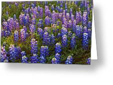 Bluebonnets At Sunset Greeting Card