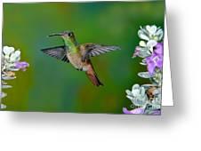 Buff-bellied Hummingbird Greeting Card