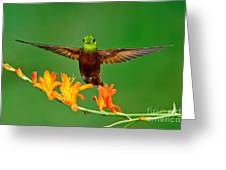 Chestnut-breasted Coronet Greeting Card
