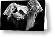 Chinese Crested Hairless Greeting Card