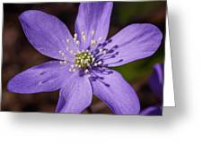Common Hepatica Greeting Card
