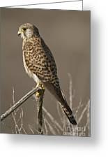 Common Kestrel Falco Tinnunculus Greeting Card