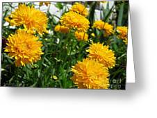 Coreopsis Named Early Sunrise Greeting Card