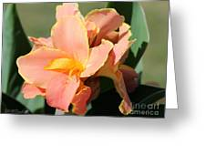 Dwarf Canna Lily Named Corsica Greeting Card by J McCombie