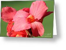 Dwarf Canna Lily Named Shining Pink Greeting Card
