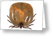 Engorged Ixodes Tick Greeting Card by Science Photo Library