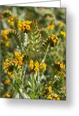 Fiddleneck Flowers Greeting Card