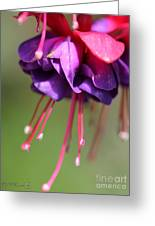 Fuchsia Named Dark Eyes Greeting Card