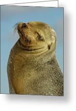 Galapagos Sea Lion Zalophus Wollebaeki Greeting Card