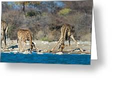 Giraffes Giraffa Camelopardalis Greeting Card