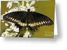 Gold Rim Swallowtail Butterfly Greeting Card