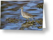 Greater Yellowlegs Greeting Card