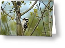 Hairy Woodpecker Greeting Card