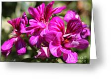 Ivy Geranium Named Contessa Purple Bicolor Greeting Card