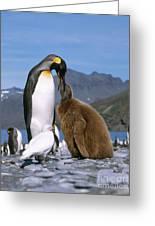King Penguins Aptenodytes Patagonicus Greeting Card by Hans Reinhard