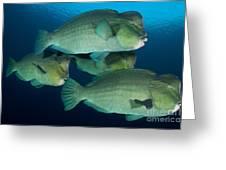 Large School Of Bumphead Parrotfish Greeting Card