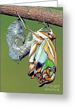 Malachite Butterfly Metamorphosis Greeting Card