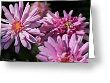 Marguerite Daisy Named Double Pink Greeting Card