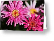 Marguerite Daisy Named Summer Song Rose Greeting Card