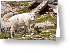 Mountain Goat Kid On Mount Evans Greeting Card