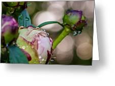 Peony With Rain Drops Greeting Card