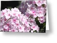 Phlox Paniculata Named Bright Eyes Greeting Card