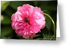 Pink Ranunculus Greeting Card