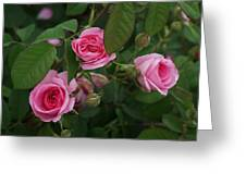 3 Pink Roses Greeting Card