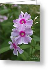 Pink Wood-sorrel  Greeting Card