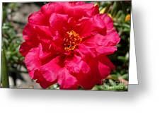 Portulaca Named Sundial Fuchsia Greeting Card