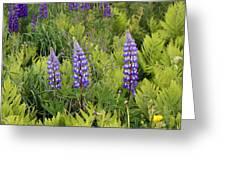 3 Purple Lupine Greeting Card