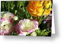 Ranunculus 1 Greeting Card