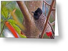 Red Vented Bulbul Greeting Card