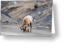 Rocky Mountain Big Horned Sheep Greeting Card