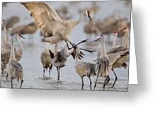 Sandhill Cranes Dancing On The Platte Greeting Card